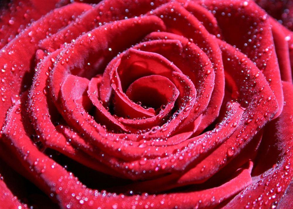 Red rose flower with water droplets