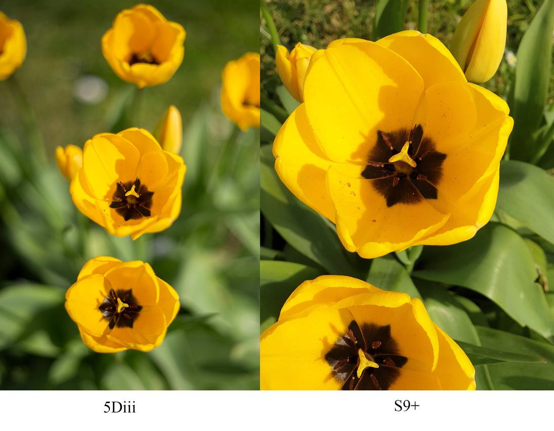 Flower comparison Canon 5D Mark iii vs Samsung Galaxy S9 plus