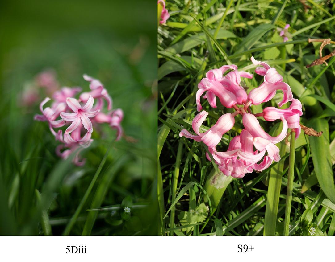 Pink flower comparison Canon 5D Mark iii vs Samsung Galaxy S9 plus